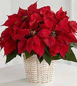 Red Poinsettia Basket (Small)